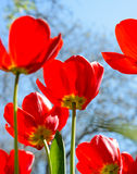 Beautiful Red Tulips in Field under Spring Sky in Bright Sunlight Royalty Free Stock Image