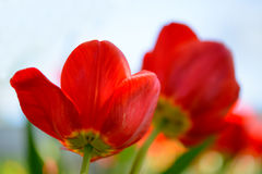 Beautiful Red Tulips in Field under Spring Sky in Bright Sunlight Stock Photo