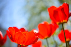 Beautiful Red Tulips in Field under Spring Sky in Bright Sunlight Stock Photos