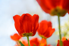 Beautiful Red Tulips in Field under Spring Sky in Bright Sunlight Stock Images