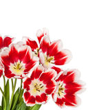 Beautiful red tulips flowers bouquet Royalty Free Stock Image