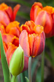Beautiful red tulips. In garden Royalty Free Stock Image