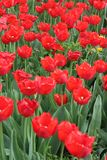Beautiful red tulips. In a garden Royalty Free Stock Image