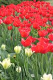 Beautiful red tulips. In a garden Royalty Free Stock Photography