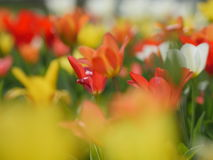Beautiful red tulips in garden Royalty Free Stock Photography
