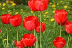 Beautiful red tulips. On the grass background Royalty Free Stock Photo