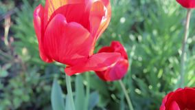 Beautiful red tulips grow in a spring garden.  stock video footage