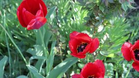 Beautiful red tulips grow in a spring garden.  stock video