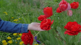 Beautiful, red tulips growing in a field in the wind. Slow motion. stock footage