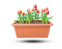 Beautiful red tulips growing in a flower pot isolated on white Royalty Free Stock Images