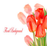 Beautiful tulips isolated on white background. Beautiful red tulips isolated on white background Royalty Free Stock Photos
