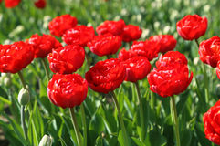 Beautiful red tulips Stock Photo