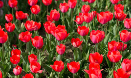 Beautiful red tulips in nature Stock Photos