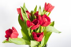 Beautiful red tulips over white Royalty Free Stock Images