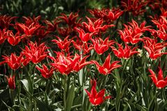Beautiful Red Tulips in Spring Time Stock Image