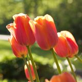 Red tulips flowering in a summer park or in the garden. Beautiful red tulips in the sunlight in a summer park stock photo