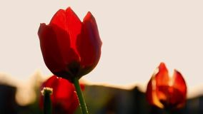 Beautiful Red Tulips Swaying in the Wind. Beautiful Red Tulips Swaying in the Wind stock video footage