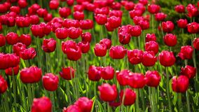 Beautiful red tulips swaying in the wind. Filmed in a Park in Central Moscow in the early summer stock video footage