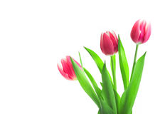 Beautiful red tulips on white background Stock Photos