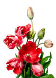Beautiful red tulips on white background Stock Image