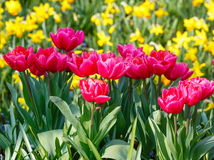 Beautiful red tulips and yellow narcissus Royalty Free Stock Image