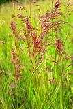 Beautiful, red, unusual grass close-up, on a green background. Warm sunny day, summer and rest Royalty Free Stock Photo
