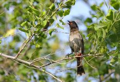 Beautiful red vented bulbul Royalty Free Stock Photo