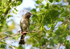Beautiful red vented bulbul with open bill Stock Photos