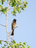 Beautiful Red vented bulbul perched on a branch of tree Stock Photography
