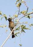 Beautiful red vented Bulbul sitting on a Tamrind tree Stock Image