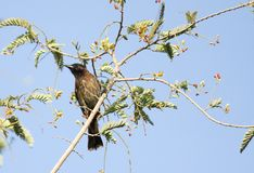 Beautiful red vented Bulbul sitting on a tree Stock Photo