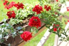Beautiful red Verbena flowers. Beautiful red Verbena (verbenas or vervains ) flowers Stock Photos