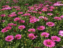 Red violet daisies in the garden. Beautiful red violet daisies in the garden Royalty Free Stock Photos