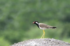 A beautiful Red-wattled Lapwing Stock Image