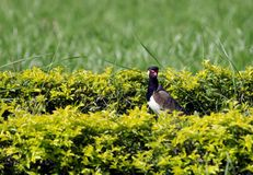 Beautiful Red-wattled Lapwing peeing from hedges Royalty Free Stock Photos
