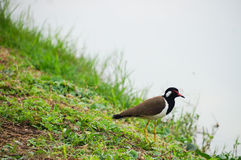 Beautiful red-wattled lapwing (Vanellus indicus)   Royalty Free Stock Photography