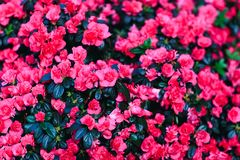 Beautiful red wax begonias flower background. Fresh begonia petals. Beautiful red wax begonias flower background. Fresh begonia plants in amazing floral decor stock photography