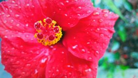 Beautiful red wet flower in close-up royalty free stock photography