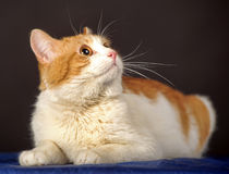 Beautiful red with a white breast cat Stock Photography