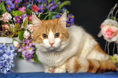 Beautiful red with a white breast cat Stock Photo