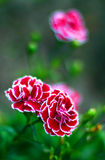 Beautiful red-white carnations Stock Images