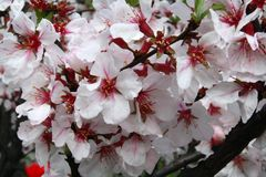 Beautiful red white Cherry bloom on a sunny day on a spring. Beautiful red white Cherry bloom on a sunny day on a bright sunny day in spring royalty free stock images
