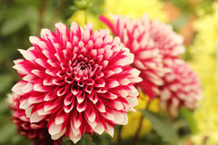 Beautiful Red & White Dahlia Flower On Green Yellow Backdrop Stock Images