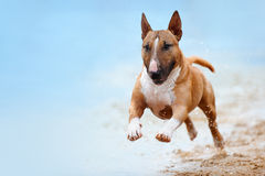 Beautiful red and white dog breed mini bull terrier. Running along the beach against the backdrop of water and looking at the camera close-up Royalty Free Stock Image