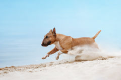 Beautiful red and white dog breed mini bull terrier running along the beach. Against the backdrop of water and sand raises up Royalty Free Stock Images