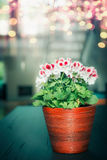 Beautiful red white geranium flowers in wooden pot at cozy home background. Indoor stock images