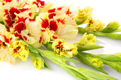 Beautiful red and white gladiolus isolated  horizontal Stock Photography