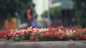 Beautiful red, white, pink flowers on the flowerbed in the center city. Dolly shot, shallow depth of the field. 50 fps stock footage