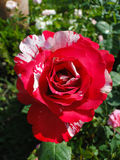 Beautiful red and white rose. In sunlight Stock Images