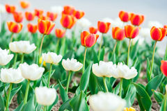 Beautiful red and white tulip flowers Stock Images